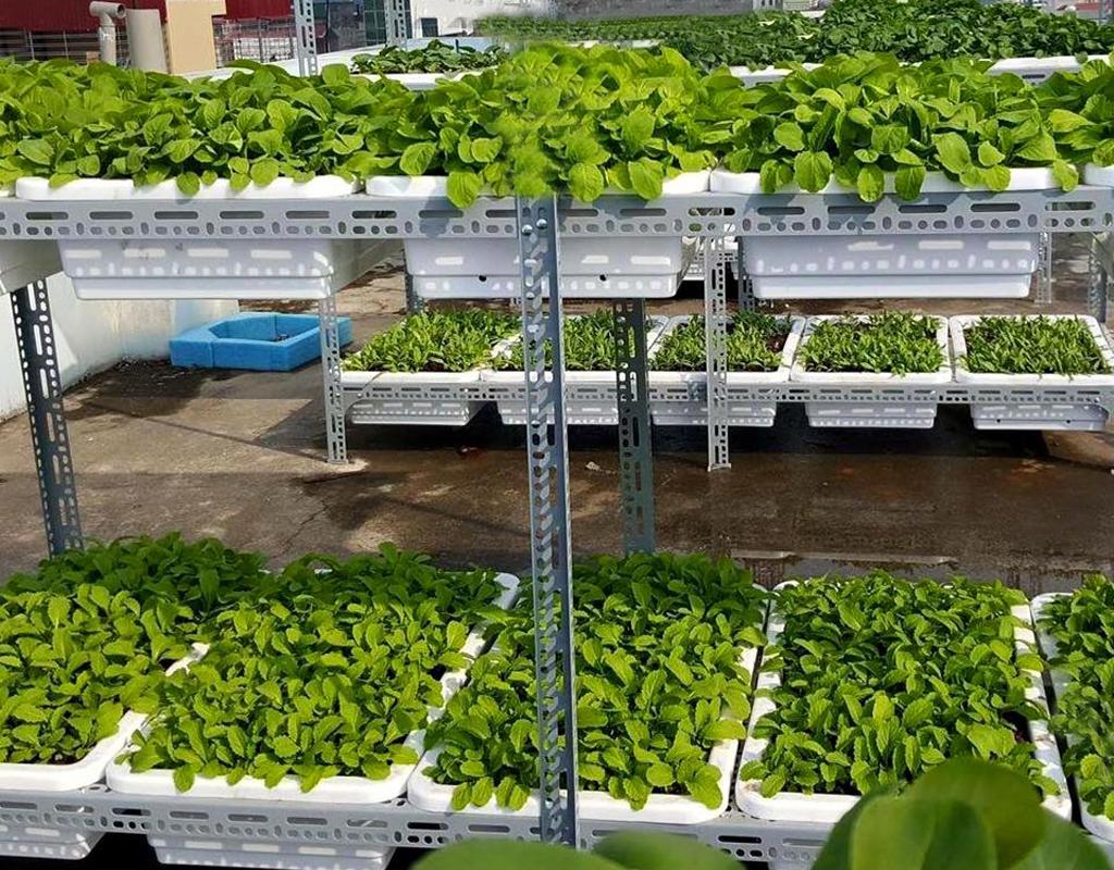trồng rau trên tầng thượng